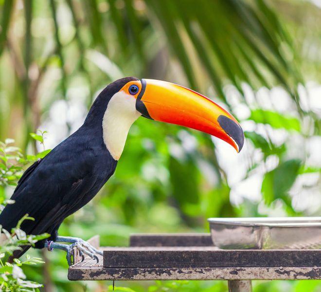 big black toucan with an orange beak sits on a perch
