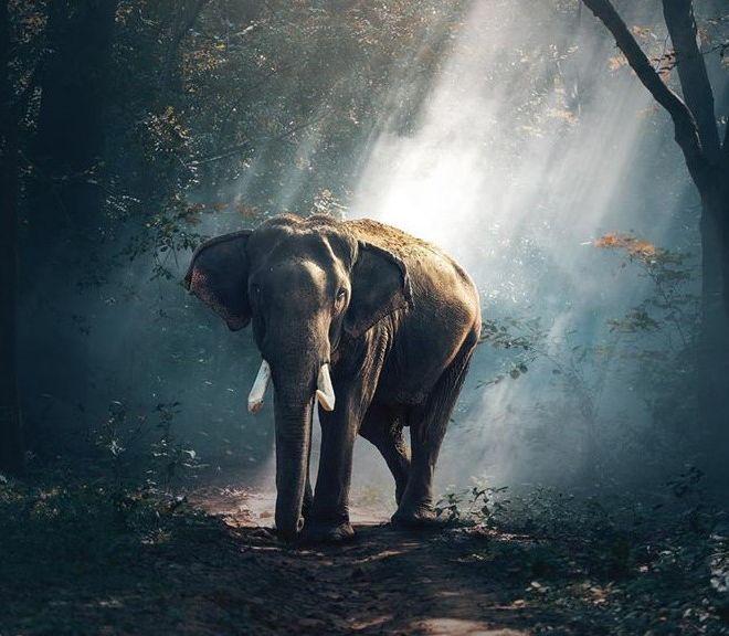 elefanteindia